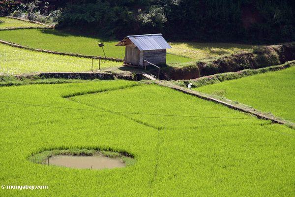 Fish pond in a rice field (Toraja Land (Torajaland), Sulawesi)