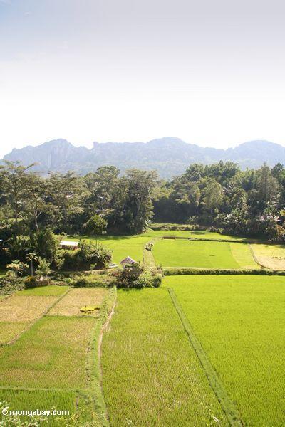 Rice fields at Lemo (Toraja Land (Torajaland), Sulawesi) -- sulawesi6689