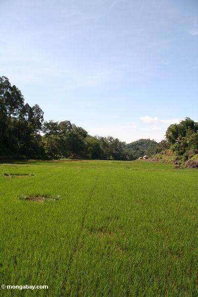 Rice fields at Lemo (Toraja Land (Torajaland), Sulawesi) -- sulawesi6702