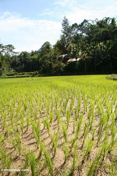 Rice fields at Lemo (Toraja Land (Torajaland), Sulawesi)