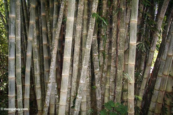 Giant bamboo (Dendrocalamus giganteus) (Toraja Land (Torajaland), Sulawesi)