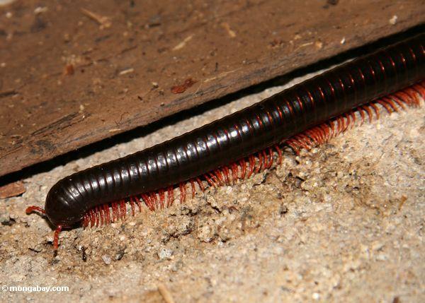 Red millipede (Toraja Land (Torajaland), Sulawesi) -- sulawesi6743
