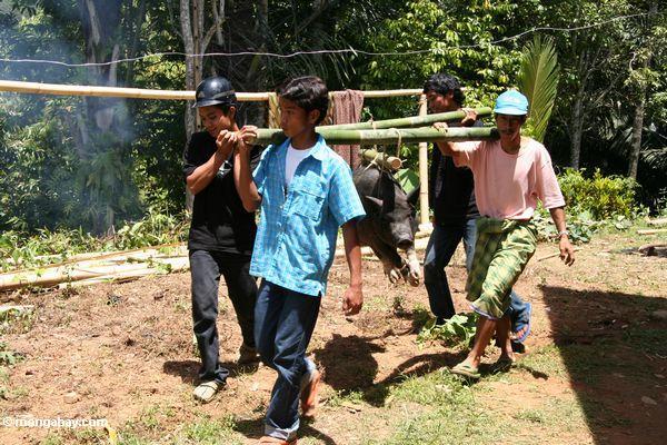 Men carrying hog for slaughter (Toraja Land (Torajaland), Sulawesi)