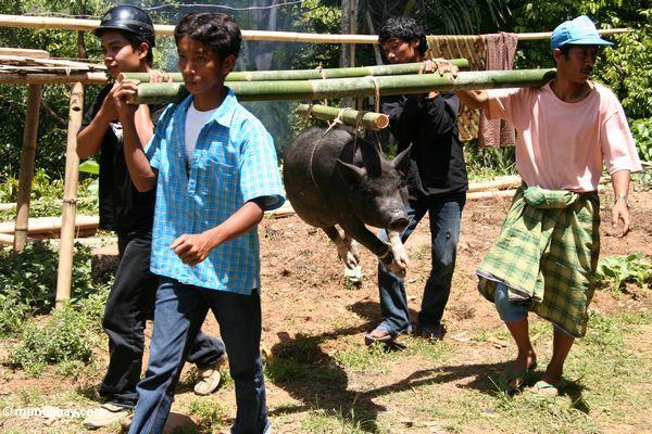Men carrying hog for slaughter at Tongkonan funeral (Toraja Land (Torajaland), Sulawesi)