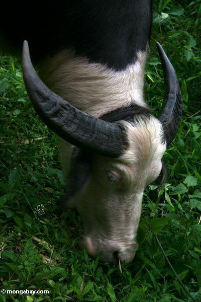 Highly valued white steer (Toraja Land (Torajaland), Sulawesi)