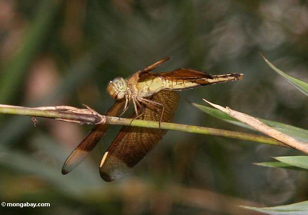 Light green and brown dragonfly (Toraja Land (Torajaland), Sulawesi)