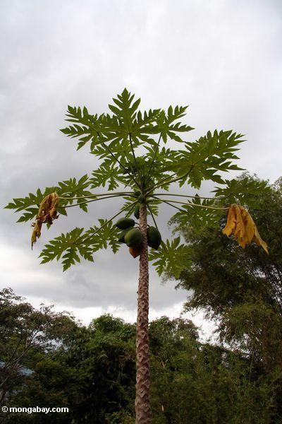 Papaya tree with papayas (Toraja Land (Torajaland), Sulawesi)