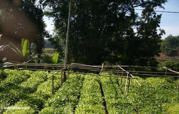 Teak tree nursery (Toraja Land (Torajaland), Sulawesi)
