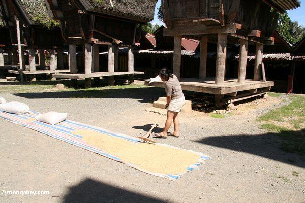 Woman raking drying rice at Palawa village (Toraja Land (Torajaland), Sulawesi)