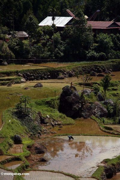 Workers in rice paddies of Batutomonga (Toraja Land (Torajaland), Sulawesi)