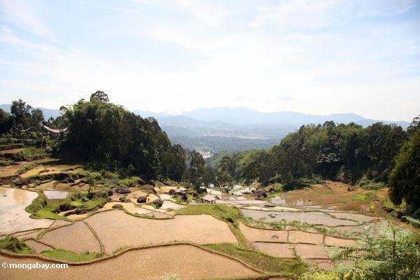 Terraced rice fields of Batutomonga (Toraja Land (Torajaland), Sulawesi) -- sulawesi7145