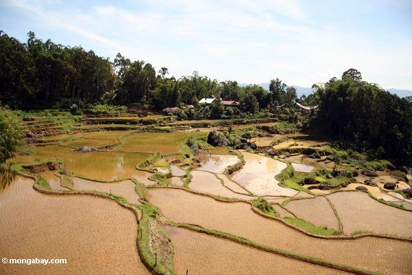 Terraced rice paddies of Batutomonga (Toraja Land (Torajaland), Sulawesi)