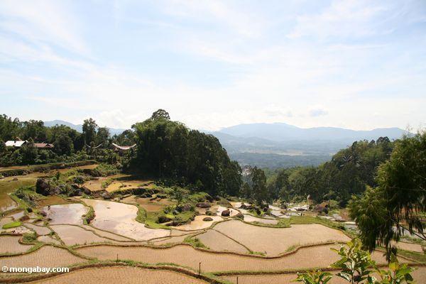 Terraced rice paddies of Batutomonga (Toraja Land (Torajaland), Sulawesi) -- sulawesi7159