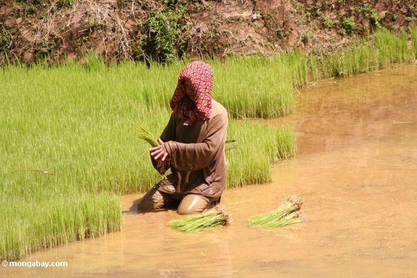 Woman planting in rice paddy (Toraja Land (Torajaland), Sulawesi)