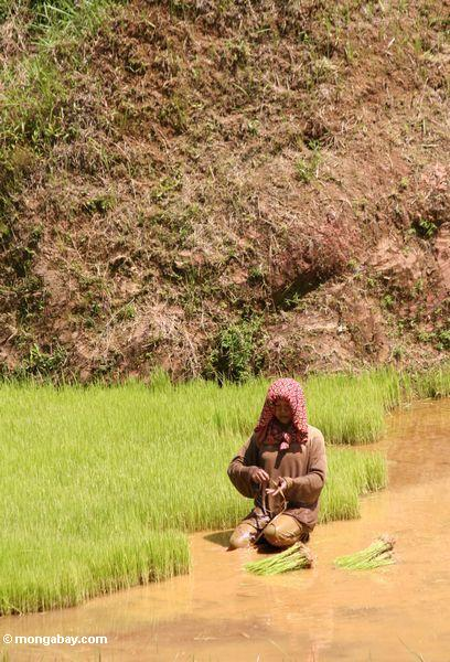Woman planting rice in paddy (Toraja Land (Torajaland), Sulawesi)