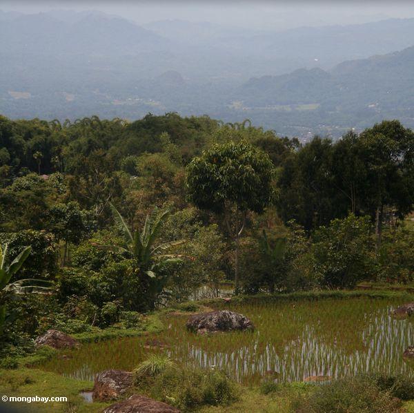 Rice fields with Rantepao in background (Toraja Land (Torajaland), Sulawesi)