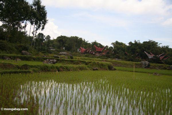 Rice growing around Batutomonga village  (Toraja Land (Torajaland), Sulawesi)