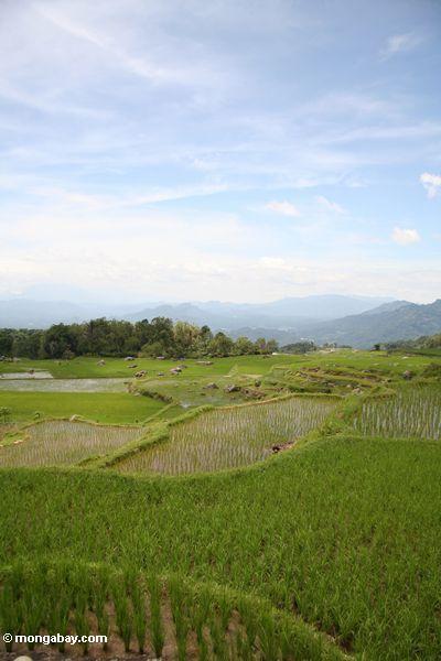 Rice paddies near Batutomonga village  (Toraja Land (Torajaland), Sulawesi) -- sulawesi7196
