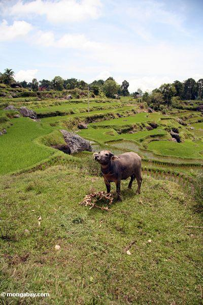 Water buffalo in rice fields at Batutomonga  (Toraja Land (Torajaland), Sulawesi)