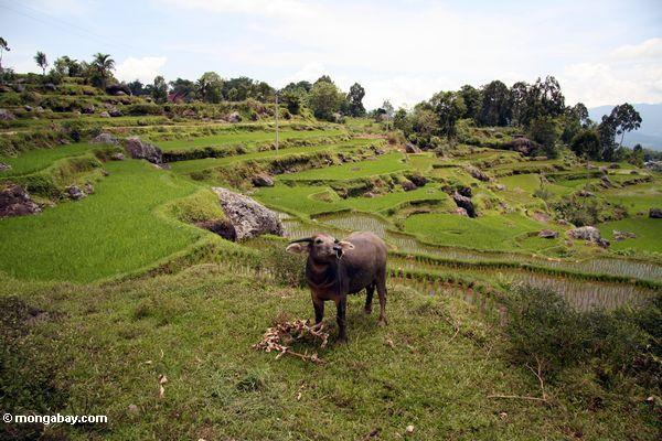 Water buffalo in rice paddies near Batutomonga village  (Toraja Land (Torajaland), Sulawesi)