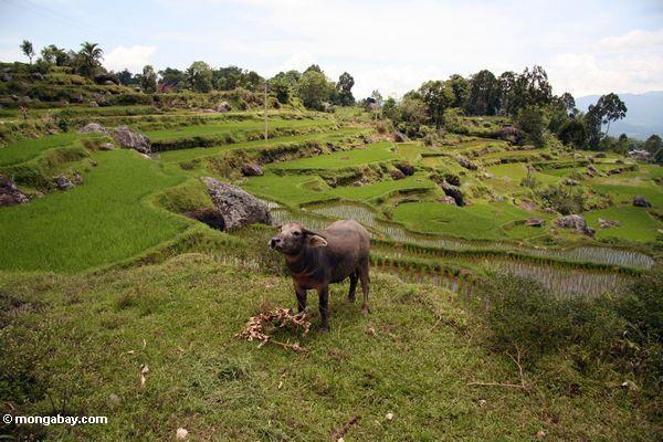 Water buffalo in rice fields near Batutomonga village  (Toraja Land (Torajaland), Sulawesi)