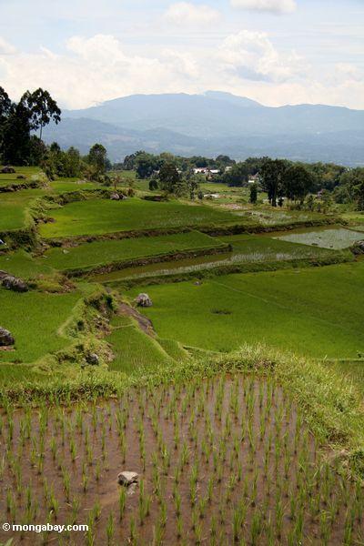 Rice fields at Batutomonga  (Toraja Land (Torajaland), Sulawesi) -- sulawesi7218