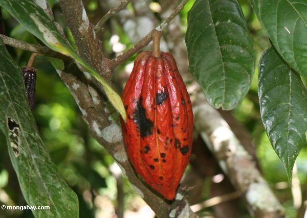 Red cacao pod (Toraja Land (Torajaland), Sulawesi)