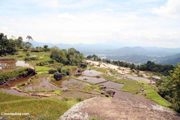 Rice fields (Toraja Land (Torajaland), Sulawesi) -- sulawesi7242