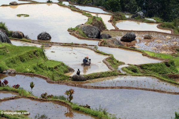 Men tilling rice field at Batutomonga  (Toraja Land (Torajaland), Sulawesi)