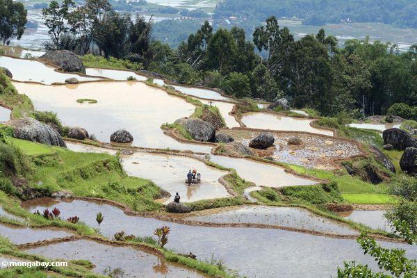 Men plowing rice paddy at Batutomonga  (Toraja Land (Torajaland), Sulawesi)