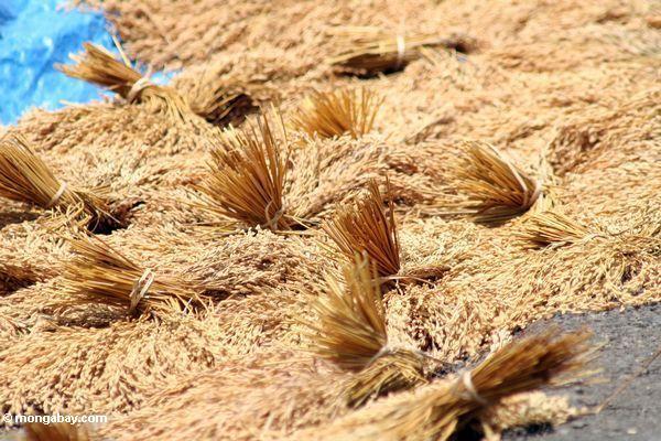 Drying rice at Batutomonga (Toraja Land (Torajaland), Sulawesi)