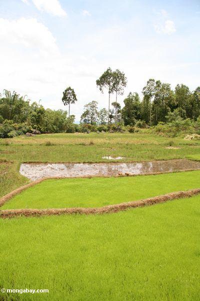 Brilliant green rice paddy (Toraja Land (Torajaland), Sulawesi)