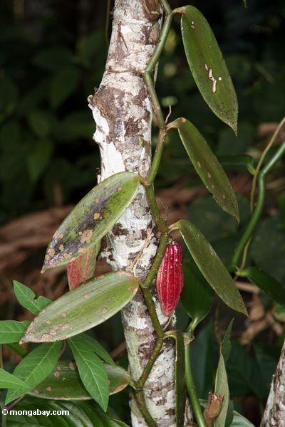 Cacao pod with vanilla plant (Toraja Land (Torajaland), Sulawesi)