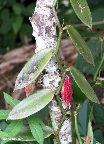 Ripe red cacao pod with vanilla plant (Toraja Land (Torajaland), Sulawesi)