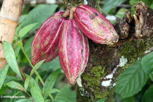 Three ripe cacao pods growing from tree trunk (Toraja Land (Torajaland), Sulawesi)