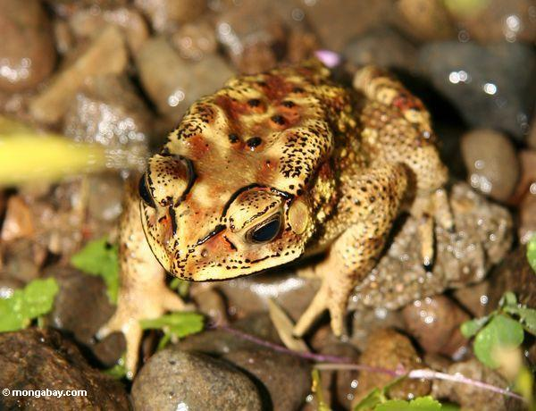 Yellow and brown toad in Sulawesi (Toraja Land (Torajaland), Sulawesi)