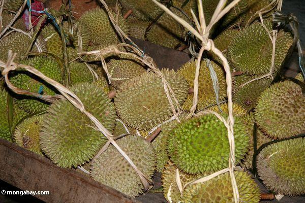 Durian fruit in the market (Toraja Land (Torajaland), Sulawesi)