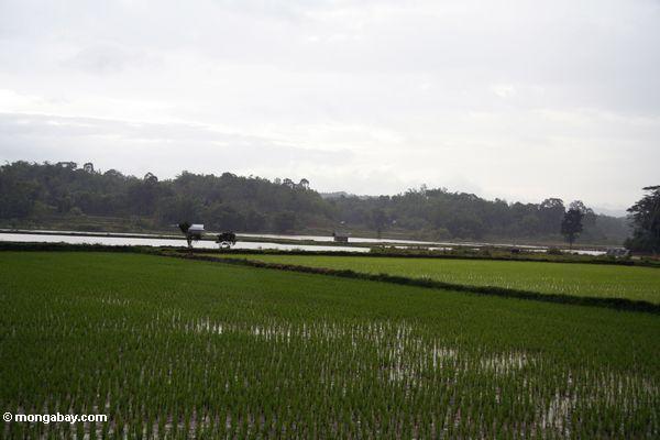 Flat rice fields (Toraja Land (Torajaland), Sulawesi)