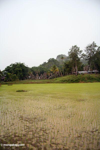 Muddy rice paddies (Toraja Land (Torajaland), Sulawesi)