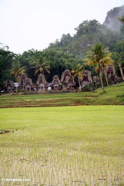 Muddy rice fields near Ketu Kese (Toraja Land (Torajaland), Sulawesi)