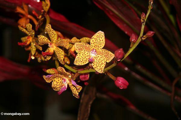 Orange orchid with magenta spots (Toraja Land (Torajaland), Sulawesi)