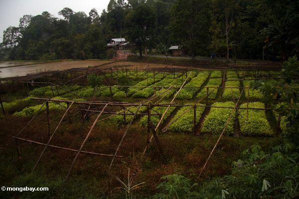 Teak nursery in Sulawesi (Toraja Land (Torajaland), Sulawesi)
