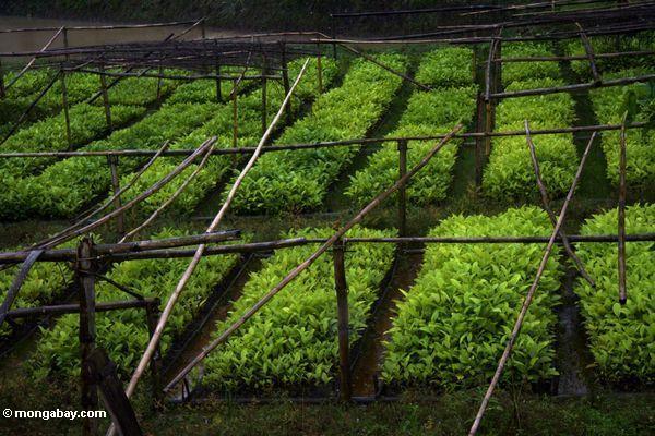 Teak tree farm (Toraja Land (Torajaland), Sulawesi)