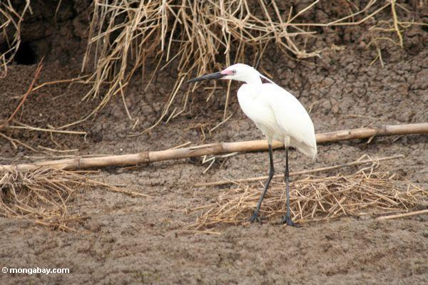 Heron on bank at Lake Tempe (Sulawesi - Celebes)