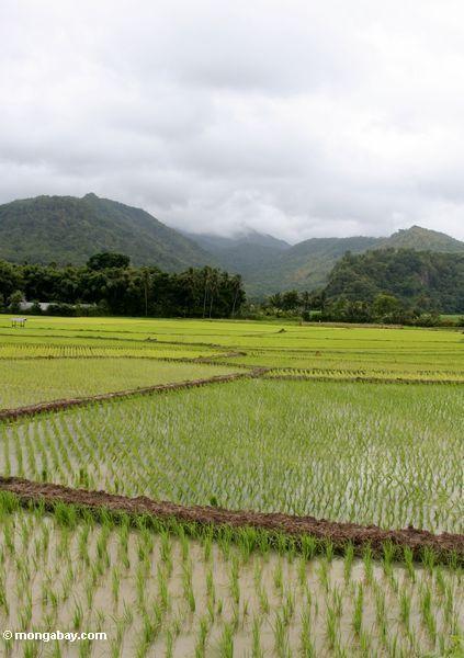 Emerald green rice paddies of south Sulawesi (Sulawesi - Celebes)