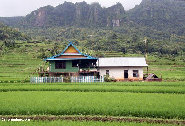 Colorful house among green rice fields of south Sulawesi (Sulawesi - Celebes)