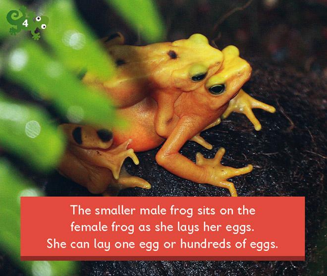 The smaller male frog sits on the female frog as she lays her eggs. She can lay one egg or hundreds of eggs.
