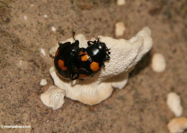 Mating pair of beetles with black bodies and orange spots
