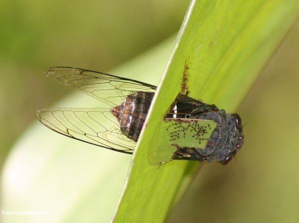 Cicada trapped in a leaf