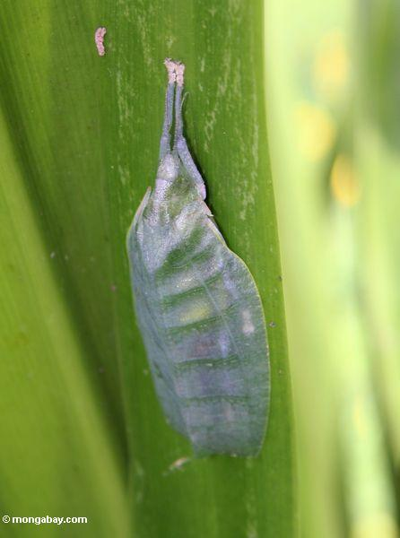 Leaf insect in stealth posture